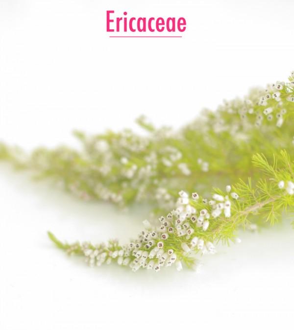 ericaceae700