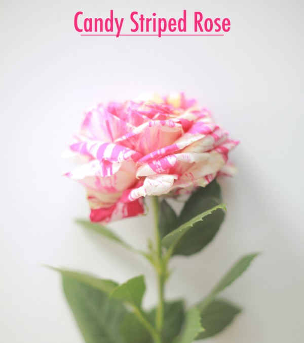 rose candy stripe