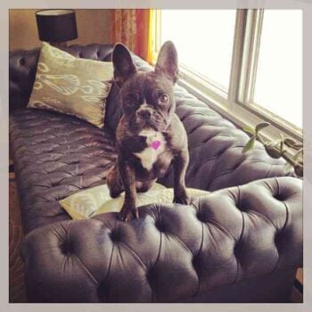 Part couch, part french bulldog -- this wins for two reasons. By @babercrombie11